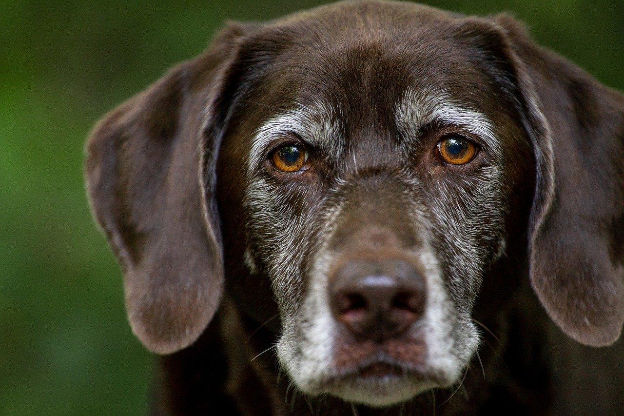 Brown labrador retriever